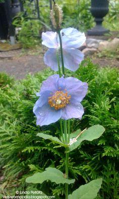 Himalayan Blue Poppy - Meconopsis betonicifolia Romppala - Lindan pihalla: Sadepäivä cottage gardenissa