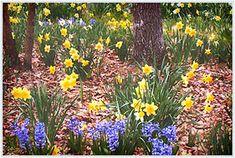 Daffodil Hill at Garvan Gardens