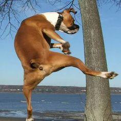 Hiiiiiii Yaaaaa! #boxerlove #ninjaboxer
