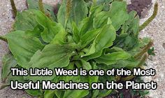This Little Weed is one of the Most Useful Medicines on the Planet, grow it and let it thrive. Natural remedies will be so useful to know when SHTF.