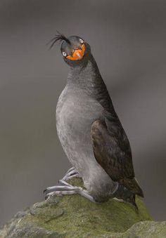 What's happenin'? Crested Auklet