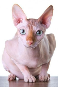 Gatos en la red I Love Cats, Crazy Cats, Cool Cats, Hairless Kitten, Sphinx Cat, Rex Cat, Cornish Rex, Cat Sitting, Grumpy Cat