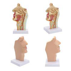1:1 Human Anatomical Nasal Cavity Throat Anatomy Medical Model