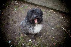 My Tibetan Terrier Tibetan Terrier, Afghan Hound, Animal 2, Spaniels, Terriers, Galleries, Dog Breeds, Dog Cat, App