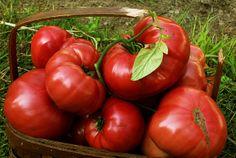 Brandywine Tomato   Brandywine Tomatoes