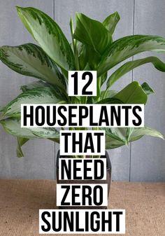 12 Houseplants That Need (Almost) Zero Sunlight - homegardenstead