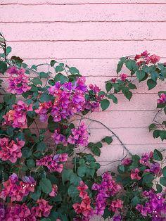 Palm Springs Bougainvillea By Jonathan Lo - Stocksy United Flower Backgrounds, Flower Wallpaper, Nature Wallpaper, Flower Power, My Flower, Bougainvillea, Palm Springs, Beautiful Gardens, Beautiful Flowers