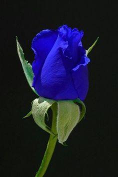 Blue Rose  Source: colbert64