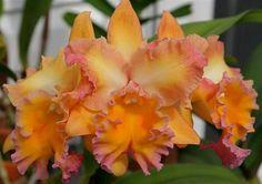 orquideas maravillosas