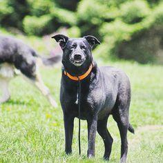 Sadie lady giving a silly smile. #evasplaypupsPA #dogs #dogcamp #sillypooch #playtime #smilingdogs #happytails #prettygirl #princess #blackbeauty #muttigrees #dogsofinstagram #instapup #petportraits #dogsinnature #runfree #brooklyndogs #endlessmountains #mountpleasant #northeasternPA #PA #pennsylvania