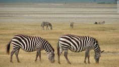 15 セレンゲティ国立公園(タンザニア) 写真=JO ANN WHITAKER ▼15Jun2013CNN|写真特集:一度は行きたい世界遺産20選 http://www.cnn.co.jp/photo/35032669.html #Serengeti_National_Park #Zebra #Cebra