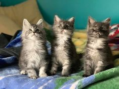 Cats And Kittens, Cute Cats, Fur, Animals, Pretty Cats, Animales, Animaux, Animal, Animais