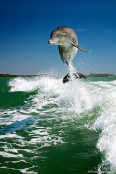 Science Links Dolphin Deaths to BP Oil Spill – Again. (Photo by National Wildlife Photo Contest entrant Sara Lopez) Bp Oil, Deepwater Horizon, Oil Spill, Beautiful Ocean, Ocean Life, Photo Contest, Climate Change, Dolphins, Whale