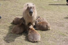 カピバラ Capybara | Flickr - Photo Sharing!