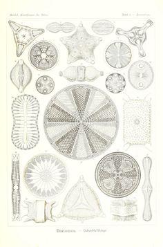 Kunstformen der Natur Leipzig und Wien :Verlag des Bibliographischen Instituts,1904. biodiversitylibrary.org/page/33543276