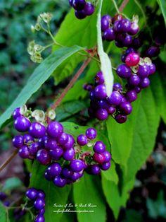 Luscious Beautyberries for the birds. (Garden of Len Barb Rosen)