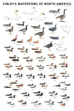 Sibley Guide: Waterfowl of North America