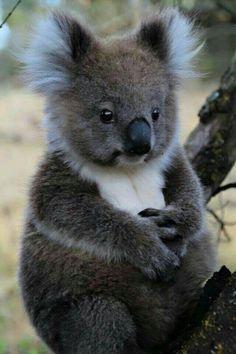 Amazing Koala Bear Chubby Adorable Dog - 31eca9e5781a56b123e6379d9d19fe49--koala  Photograph_512569  .jpg