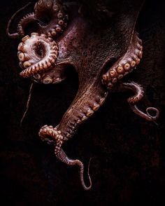 underwater animals tenticles Informations About unterwasser Tiere Dumbo Octopus, Octopus Squid, Octopus Tentacles, Octopus Art, Octopus Eyes, Beautiful Sea Creatures, Octopus Tattoos, Ocean Creatures, Foto Art