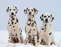 Dog Breeds: Dalmatian temperament and personality Dalmatian Dogs, Airline Pet Carrier, Jigsaw Puzzle, Spotted Dog, Bluetick Coonhound, Can Dogs Eat, Dog Cards, Behance, Dog Breeds