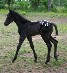 Black appaloosa foal