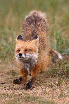 Run, fox, run...