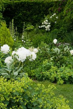 Peonies, ladies mantle; farmhouse cottage garden. layering.