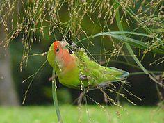 African love bird - Agapornis roseicollis -eating grass seeds-8.jpg