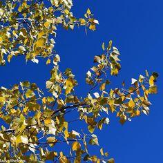 I was able to get my fix of autumn colors with the Populus deltoides yellow leaves. #sedonaaz #sedona #fall #autumn #autumnleaves #fallleaves #yellow #az #azlove #arizona #arizonalife #arizonalove #iamabotanist #botany #botanical  #naturelovers #naturesbeauty  #instanature #tree #trees #fallcolors #fallcolor #fallcolours