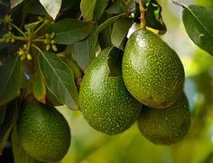 how to make an avocado tree