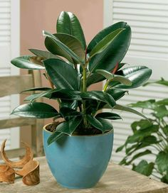 13. Rubber Tree.  A natural air purifier, rubber tree is an excellent and easy to grow houseplant. Besides occasional pruning and repotting, the maintenance of rubber tree plant is simple.