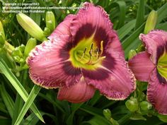 """Daylily 'Always Afternoon' 22""""/5.5"""""""