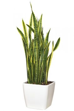 White Square Planter~Love Mother-in-Law's Tongue or Snake Plant.Botanical Name…