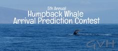 Predict the first 2014 humpback whale sighting in Hawaii | Go Visit Hawaii