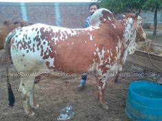Humaray Member or Butt Cattle Farm k Bachre Hain  Kitnay Ka Laina Hai Apni Offer Do Bhaiyo Kisi Ko Laina hai ? Join us on www.fb.com/Startfun Visit us www.BakraMandiPakistan.com
