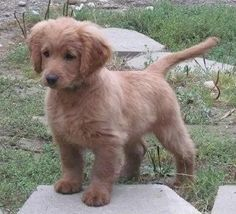 teacup golden retriever - Google Search