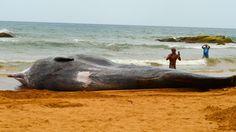 Los cachalotes se conocen también como ballena de esperma. Son de color marrón o gris oscuro y son mayormente claras en la frente. Foto José E. Maldonado / www.miprv.com