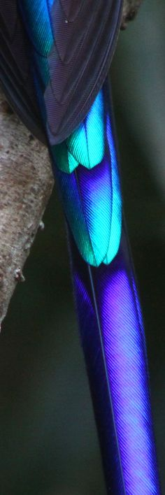 close up detail of a Violet tail Syph Hummingbird