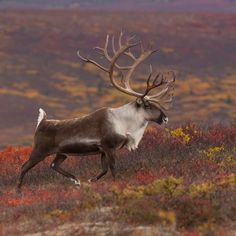 8 Best Caribou Hunting images | Animals beautiful, Mammals, Deer