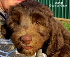 Rutlands Gubbios Gaze, chocolate Australian Cobberdog puppy exported to the United States 2015
