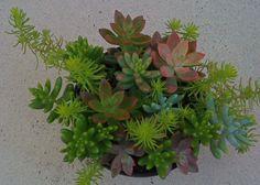 12 Succulent Plants 6.5 inch pot Mothers Day by Succulentsplus