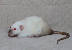 Pink Eyes Freak You Out? Pet Rats, Pets, Rat Care, Albino, Pink Eyes, Good Ol, Siamese, Fur, Animals