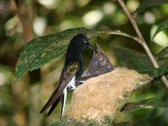 Foto beija-flor-preto (Florisuga fusca) por Rosemberg Martins | Wiki Aves - A Enciclopédia das Aves do Brasil