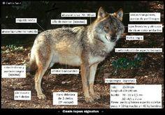 Lobo iberico. Iberian wolf