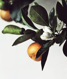 orange blossom and fruit