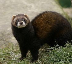 The steppe polecat (Mustela eversmanii), also known as the white or masked polecat, is a species of mustelid native to Central and Eastern Europe and Central Asia. Description from pixgood.com. I searched for this on bing.com/images European Polecat, Central And Eastern Europe, Central Asia, Animals Beautiful, Cute Animals, Cute Ferrets, Wild Creatures, Little Critter, Animal 2