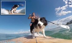 Border collies catch some waves at surfing competitions for dogs