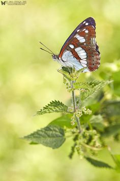 Limenitis reducta (Southern White Admiral) by Siro Moya on 500px