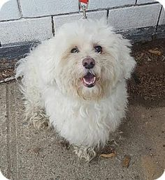 ★2/5/16 SL★Pictures of RINGO a Maltese/Poodle (Miniature) Mix for adoption in Bronx, NY (New Beginning Animal Rescue) who needs a loving home.