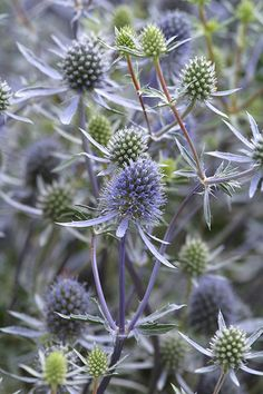 Sea holly (Eryngium planum) - produces a mesh of electric-blue thistles from midsummer on. Come winter, the seedheads are enchanting when dusted with frost.